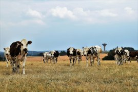 Vache sur prairie seche