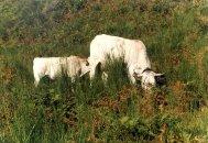 Vache avec son petit