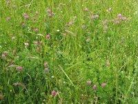 Mélange prairie avec trèfle en fleur