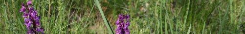 Fleur violette des prairies d'Auvergne