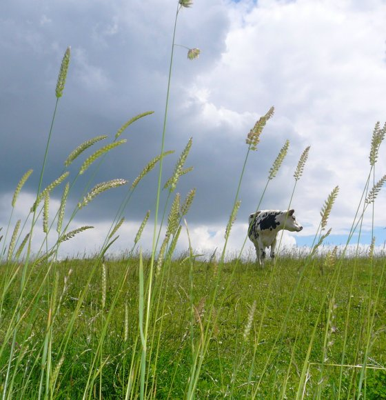 vache regardant à droite