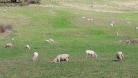 Mouton 2020 bourgogne