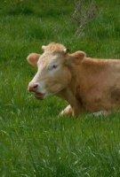 vache dans pré